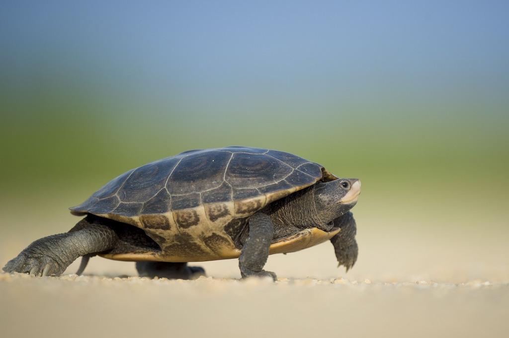 amphibian-slow-turtle
